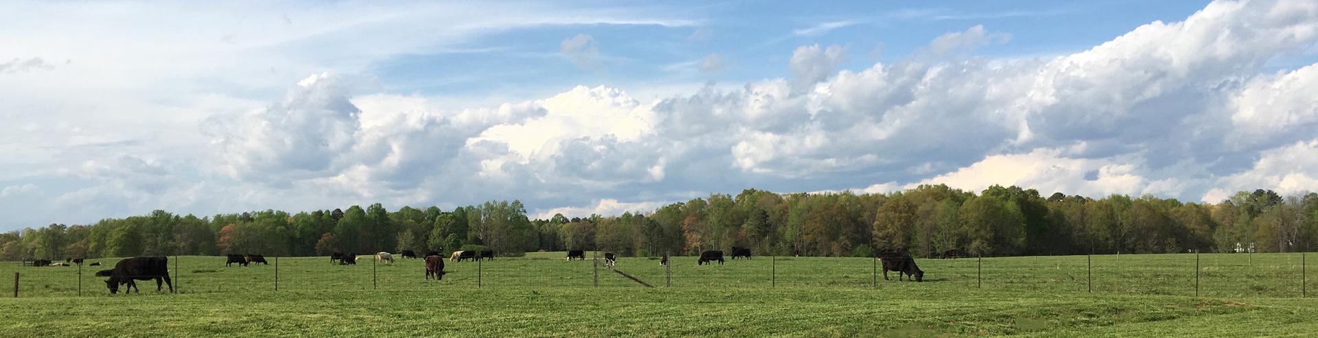 Cows Behind Church